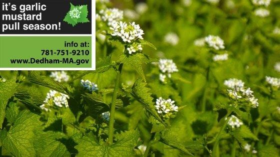 Garlic Mustard Pull Season